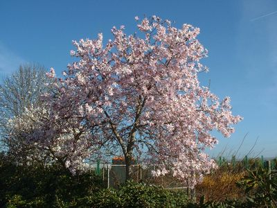 magnolia__soulangeana__066957300_1724_03022008