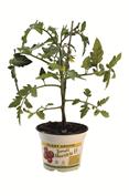 2015-4-29-tomate-maestria-f1g.250x177